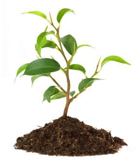 tree_sappling